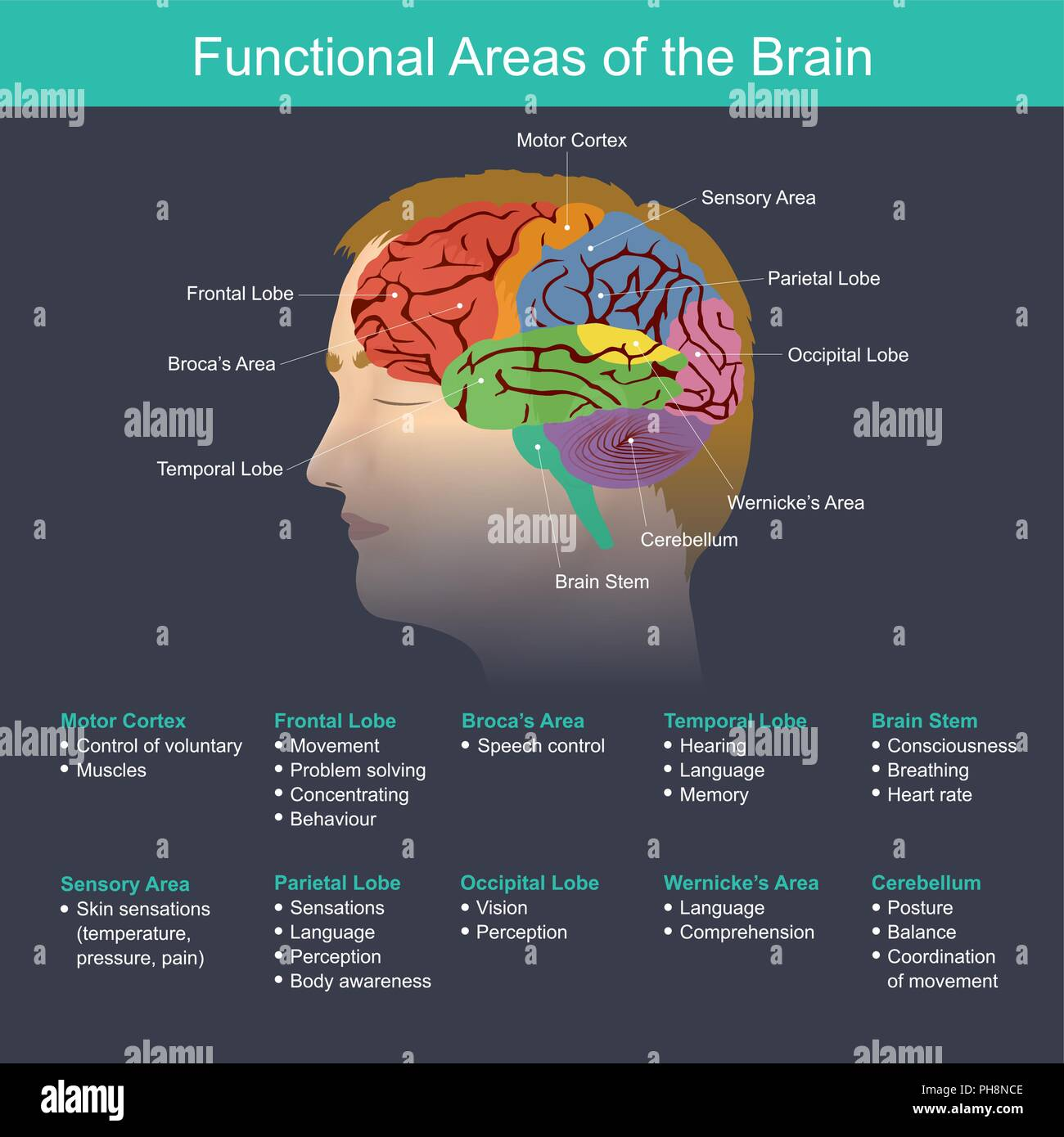 The brain is an important part in regulating the function of the body organs, the nervous system, the memory, the vision, the hearing, the speech, the - Stock Image