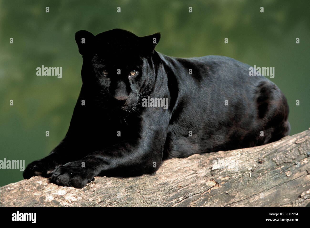 Black Jaguar Animal High Resolution Stock Photography And Images Alamy