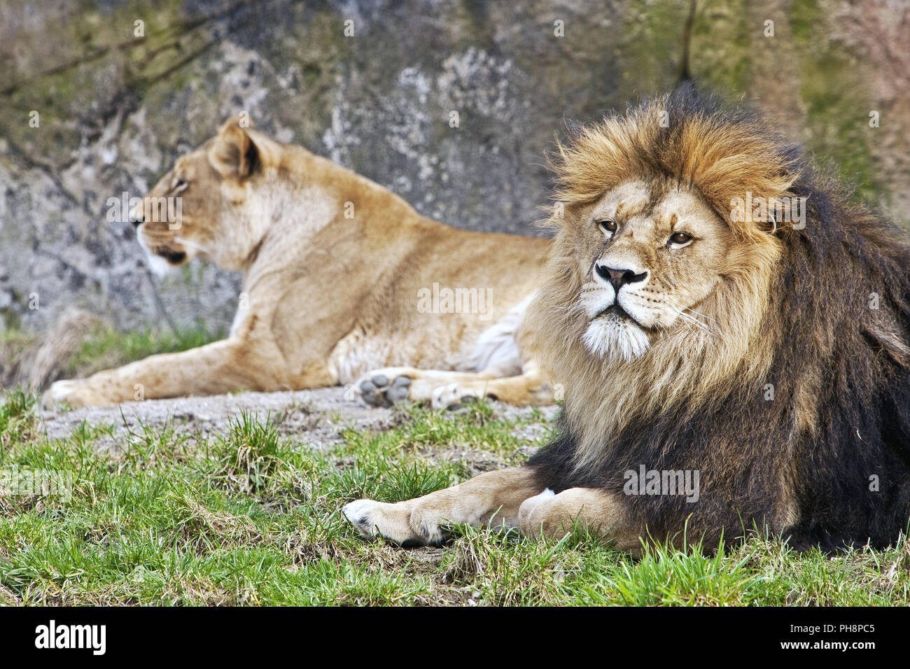 Two lions (Panthera leo), Wuppertal zoo - Stock Image