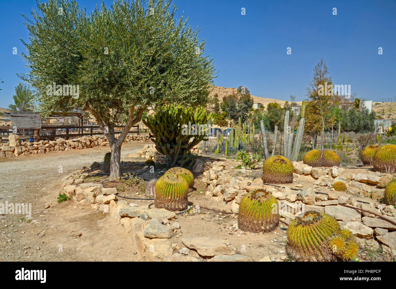 Cacti garden in the desert - Stock Image
