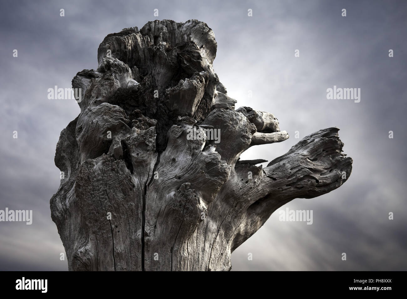 mystical drift wood, Snaefellsnes, Iceland - Stock Image