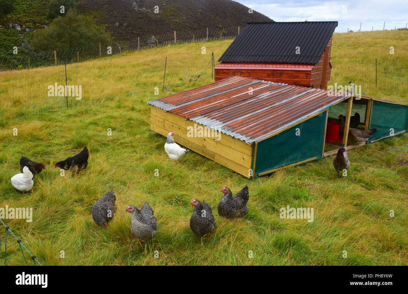 Free range eggs produced from a gathering of Marans and Leghorn Hens on this Hill farm croft in Strathspey in the Scottish Highlands. Stock Photo