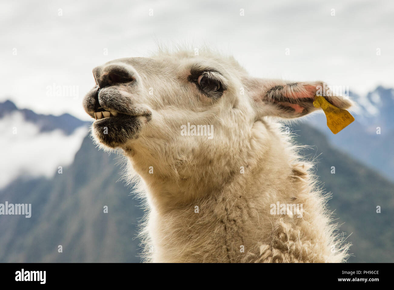 Close up of Llama. Winay Wanna Incan Ruins, Inca Trail, Peru. - Stock Image