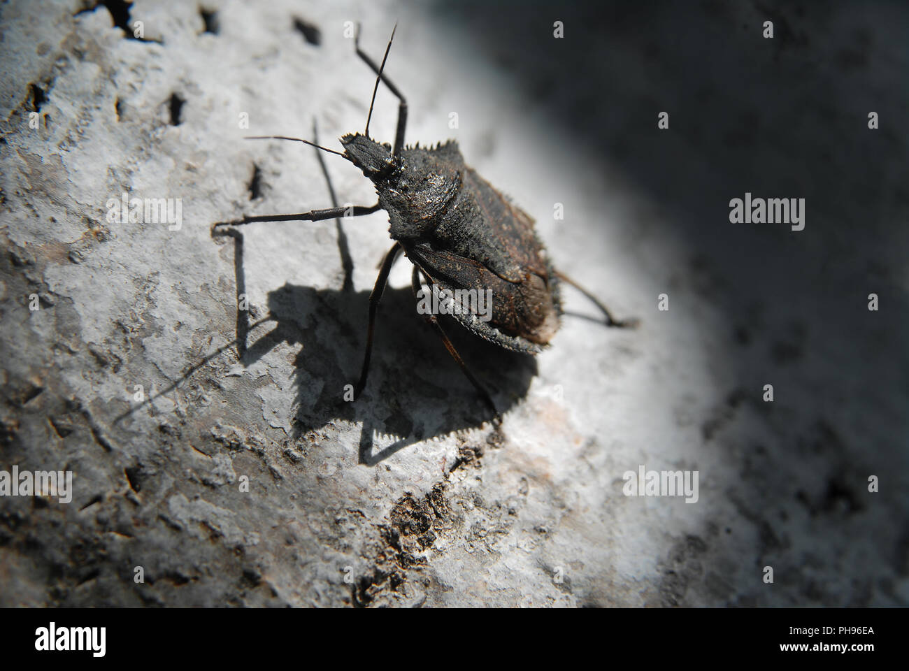 Brown Marmorated Stink Bug Stock Photo