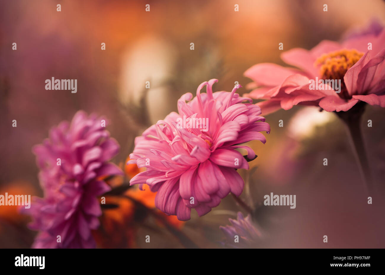 multicolor summer garden flowers isolated at abstract background - Stock Image