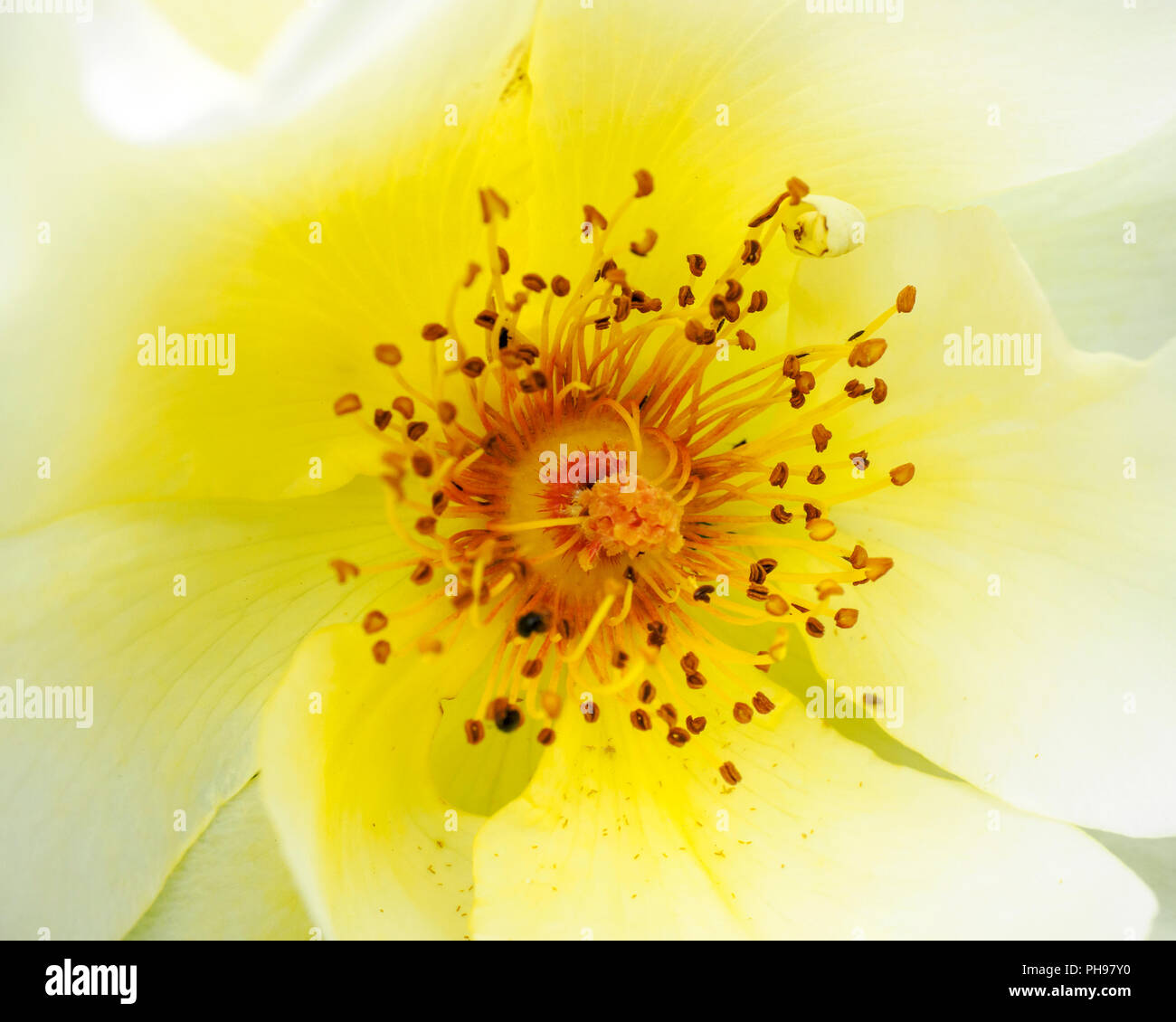 Rosa Golden Wings' is a vigorous, bushy medium-sized shrub with light green foliage, and fragrant, single white and yellow flowers - Stock Image