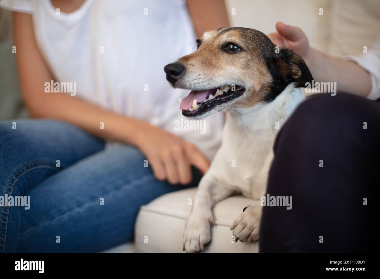 Spoilt little dog enjoying a caress on the sofa as it lies between a young couple with the man stroking it lovingly on the head in a close up view - Stock Image