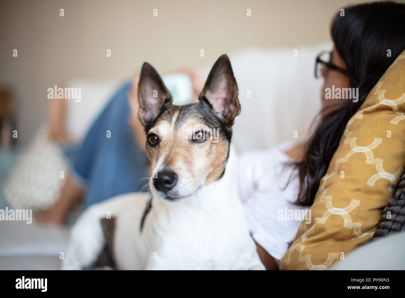Head portrait of an alert little dog looking off to the side indoors at home as it lies on a sofa alongside a young woman - Stock Image