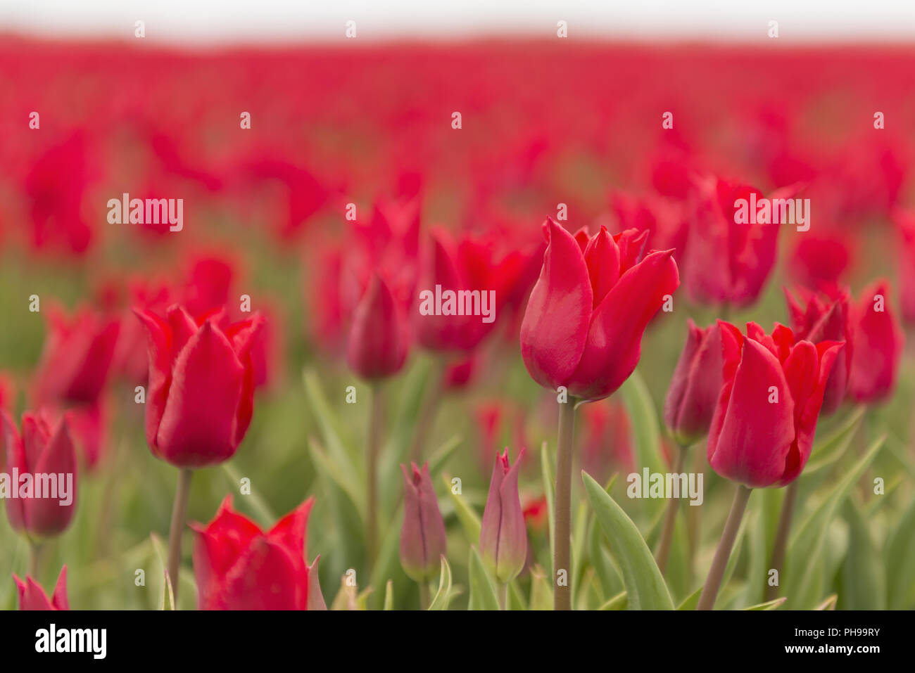 Red tulips as background picture Stock Photo