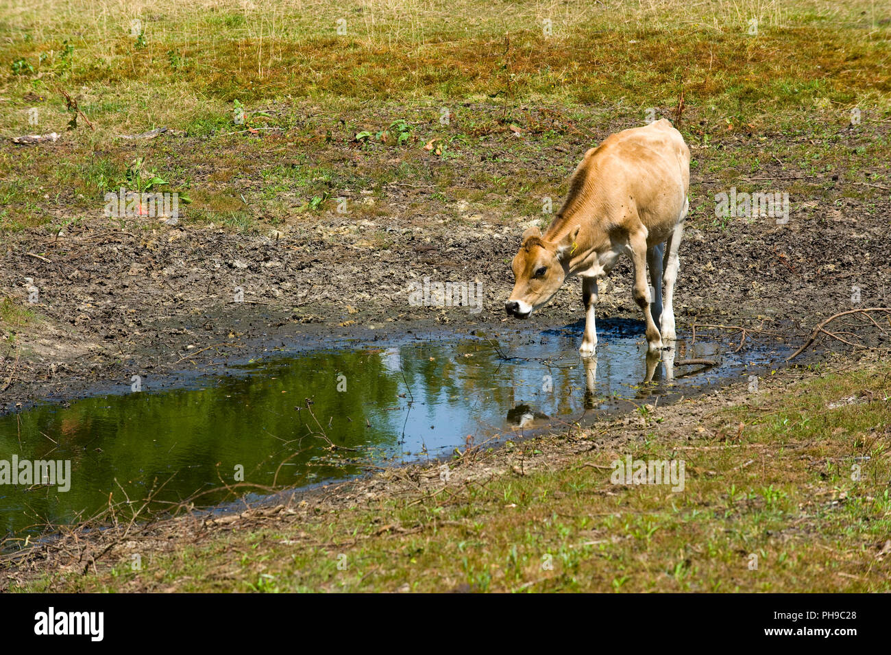 1f0136b487e8d A cow has little water to drink in a pond after a period of drought in
