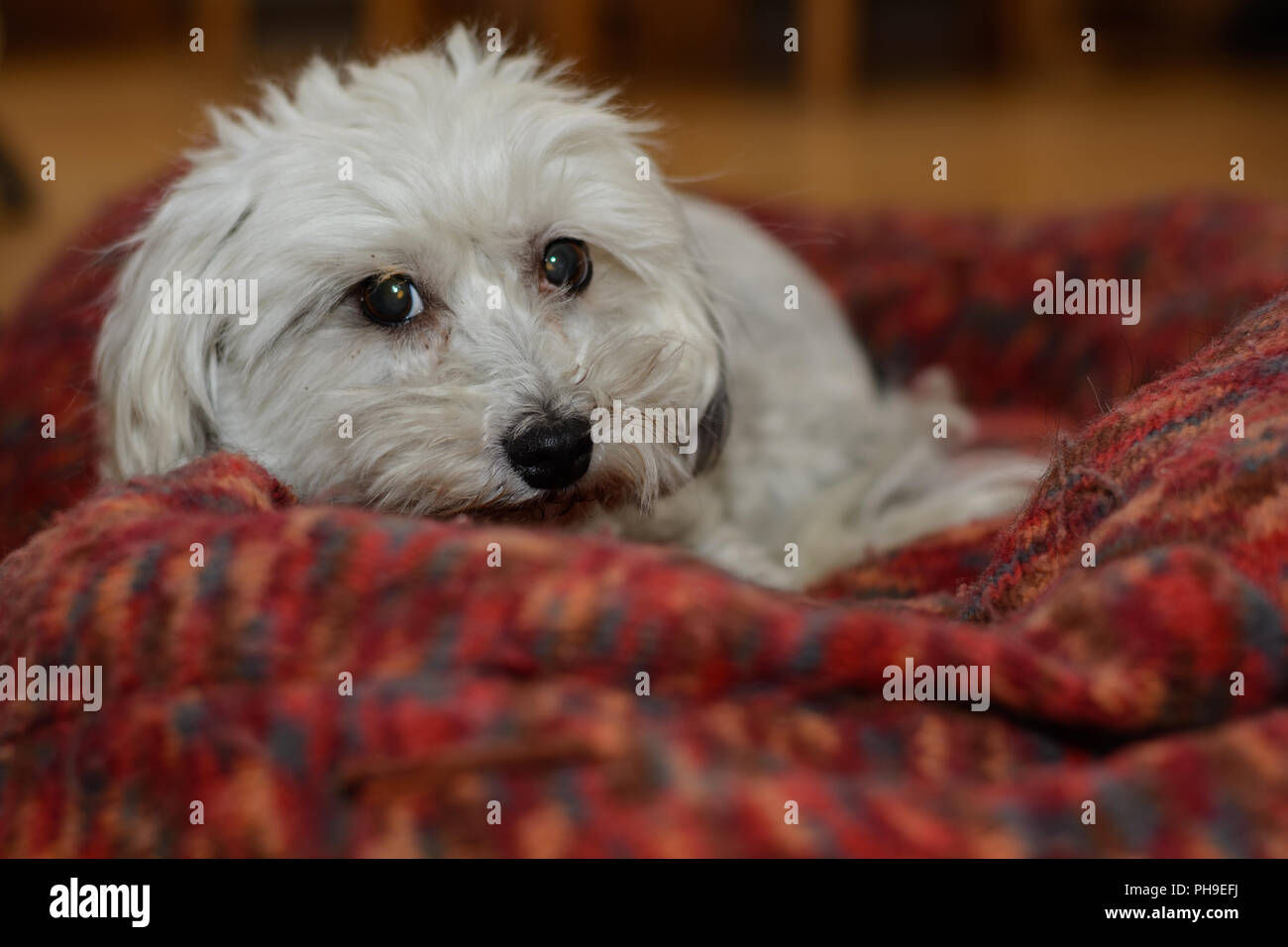White dog in his big dog bed - Havanese - Stock Image