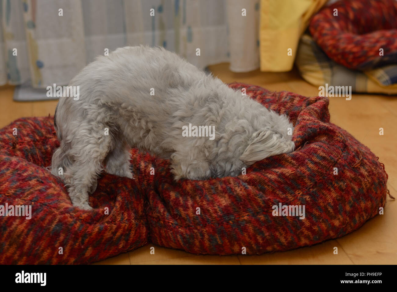White Havanese plays in his big dog bed - Stock Image