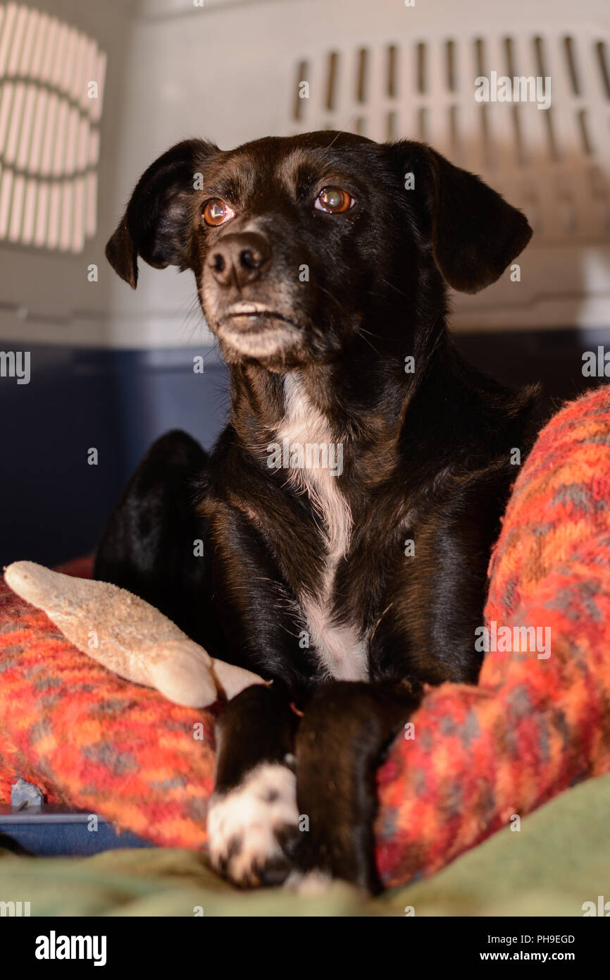 Big black dog in his dog bed - Stock Image