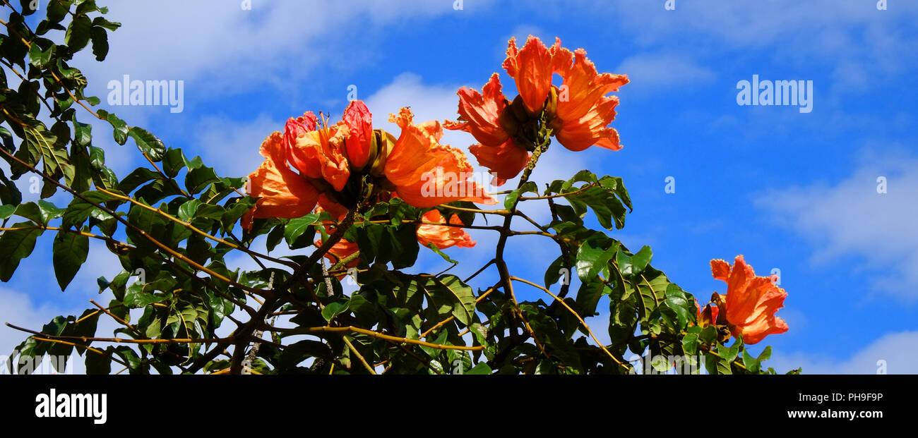 African tulip tree, Madeira Stock Photo