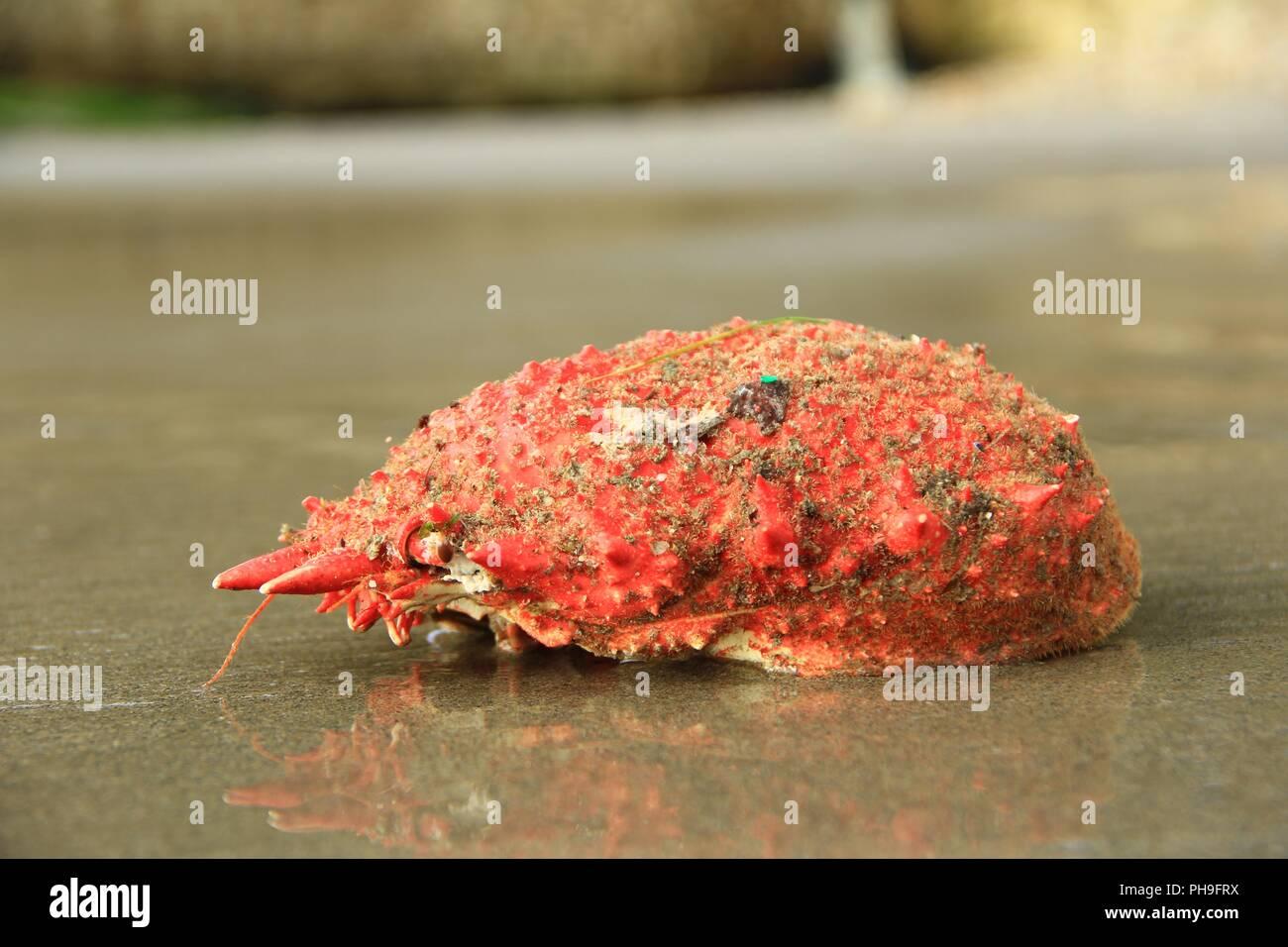 Spinous spider crab (Maja squinado) - Stock Image