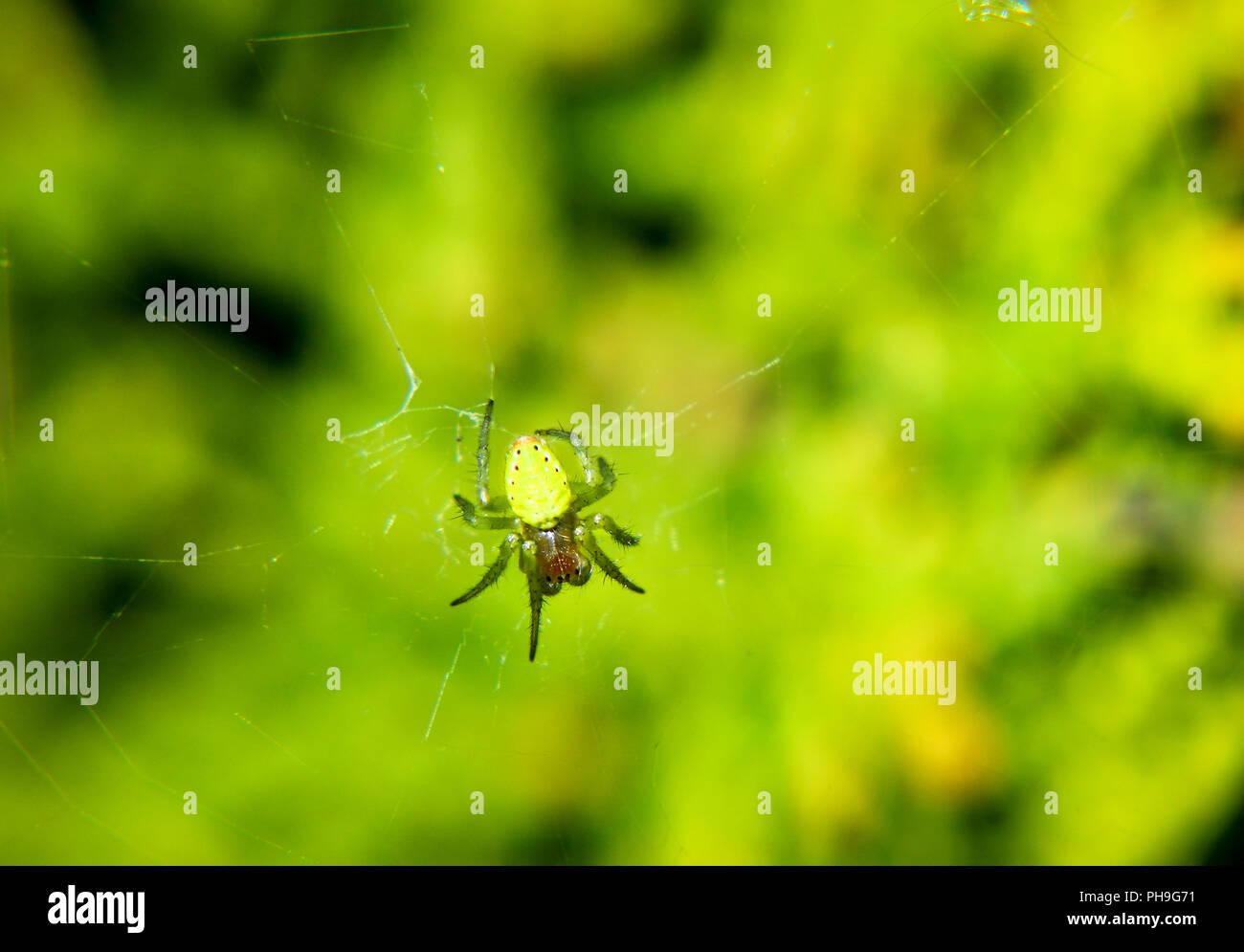 Araniella cf. cucurbitina: Pumpkin spider - Stock Image