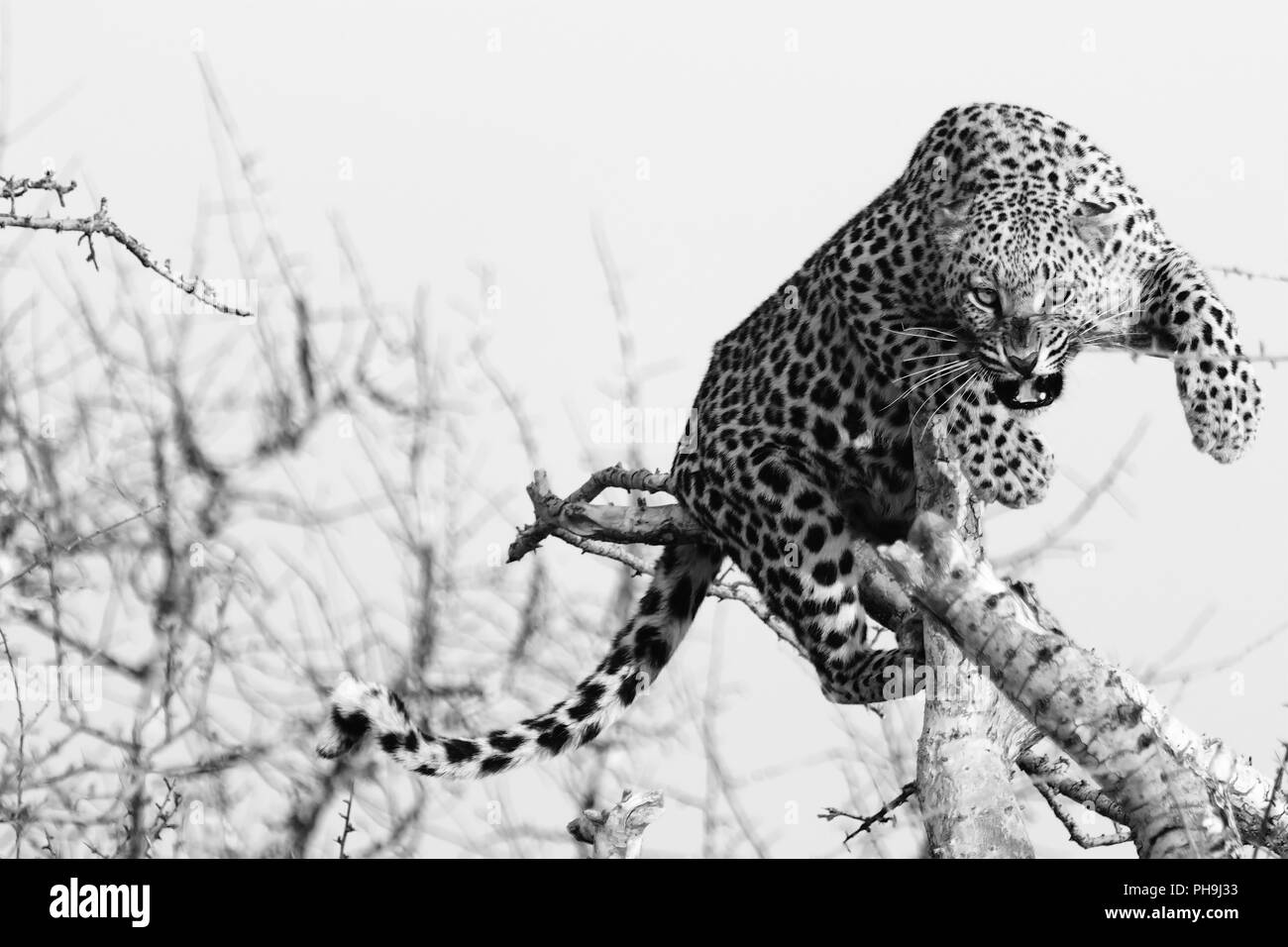 angry leopard - Stock Image