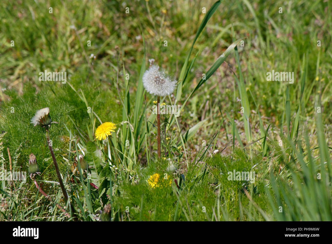 Pusteblume, Muehlenbecker Land, Brandenburg. - Stock Image
