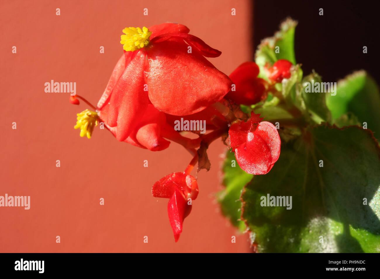 Red mini petunia - Stock Image
