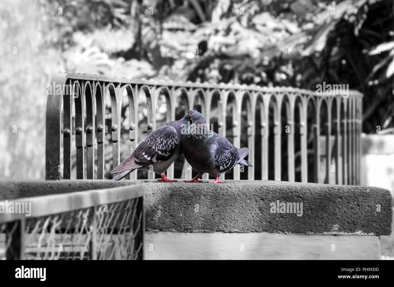 Turtle doves, affection, fidelity, birds - Stock Image