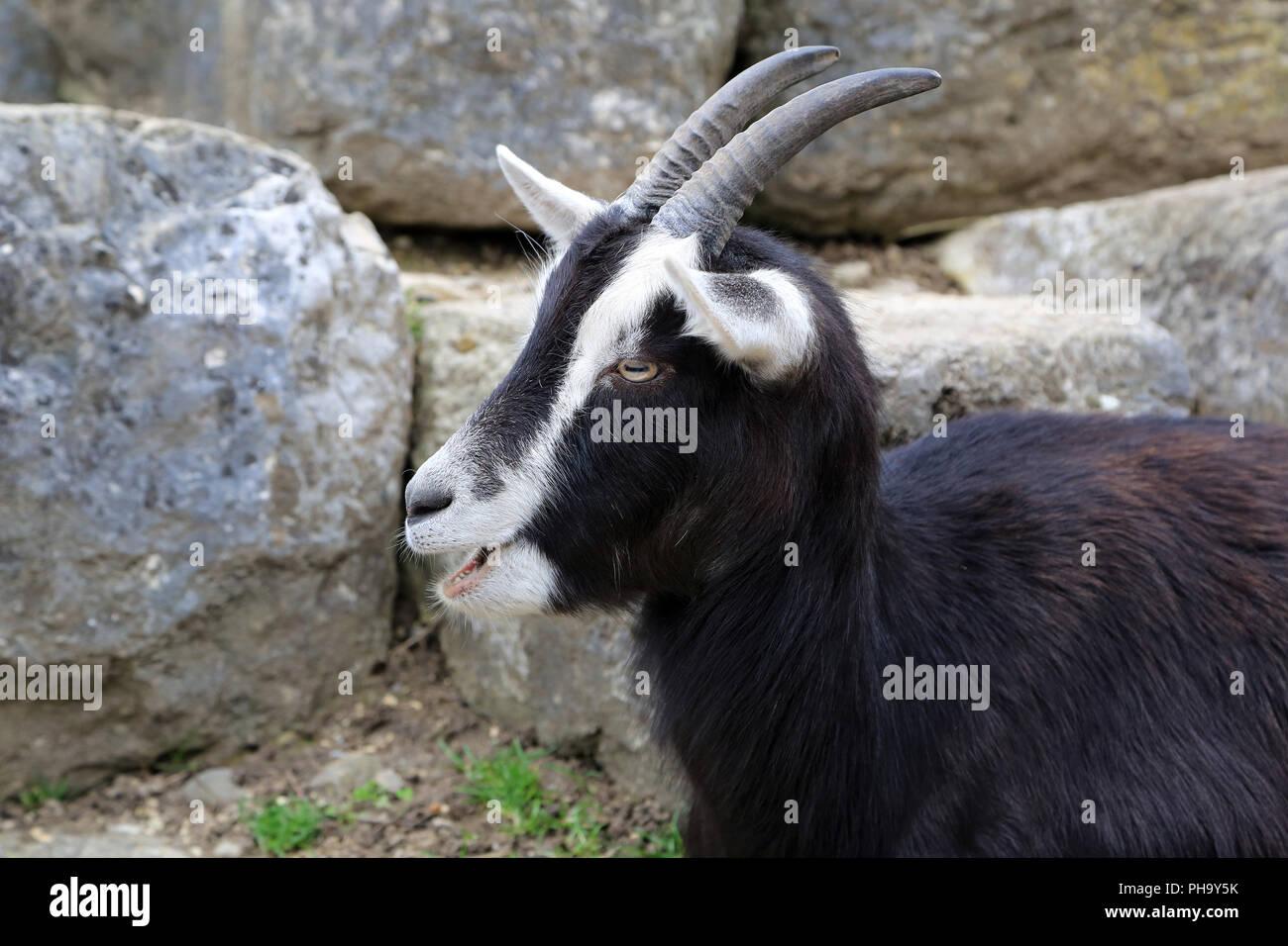 Swiss black and white goat - Stock Image