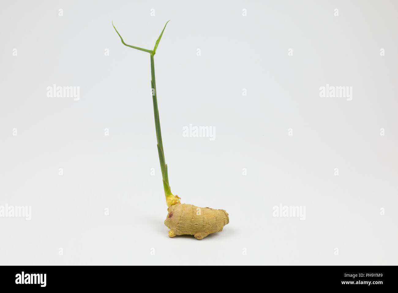 Piece of root ginger sprouting into plant - Stock Image