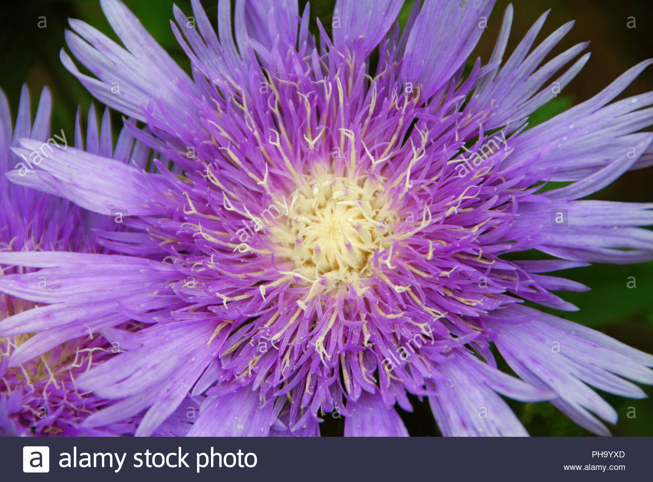 Purple Pink Stokes Aster Stokesia Laevis Flower In Bloom In Early