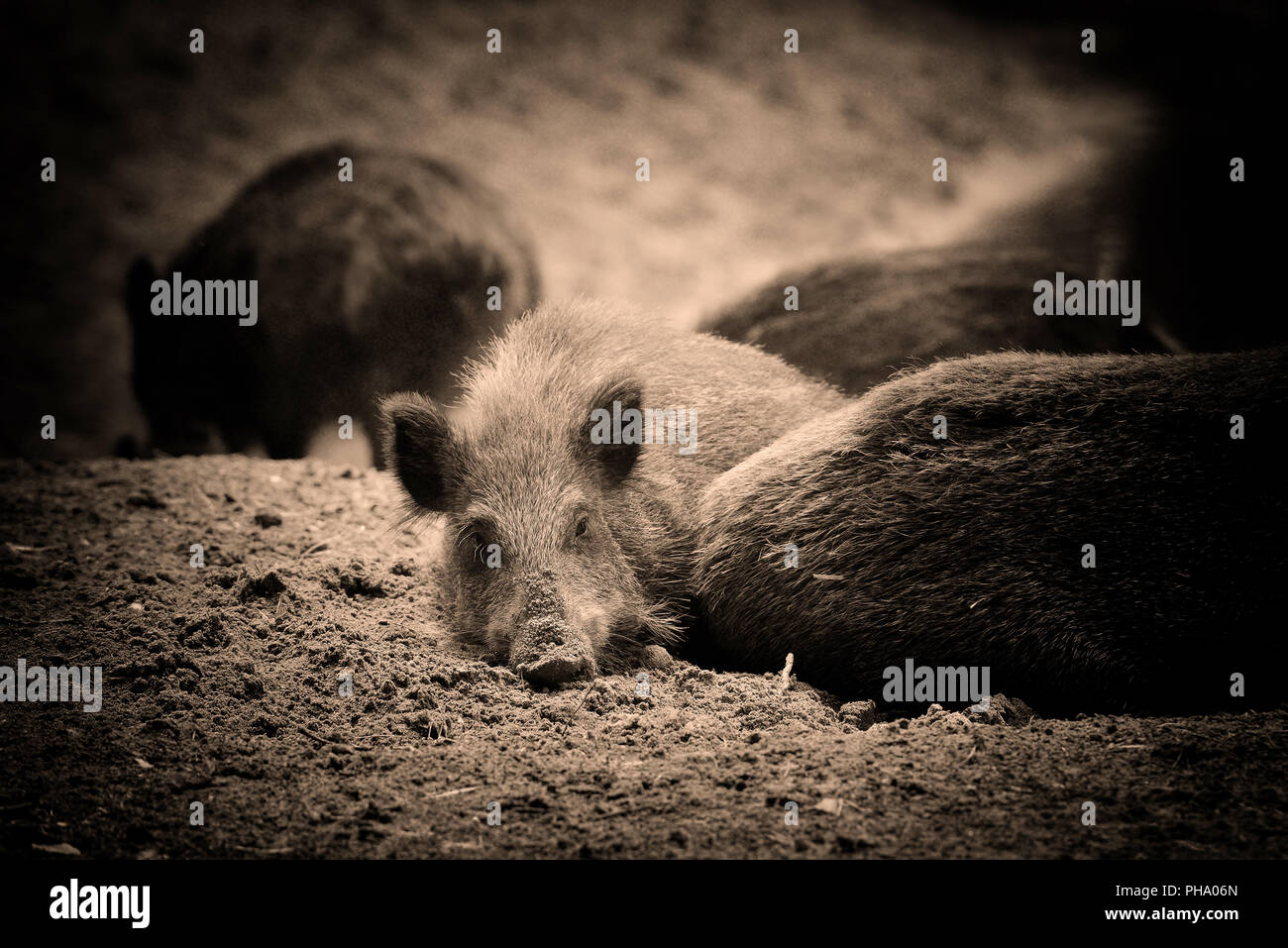 Wild boar piglet - young wild boar lies in the forest. Art photo in sepia. - Stock Image