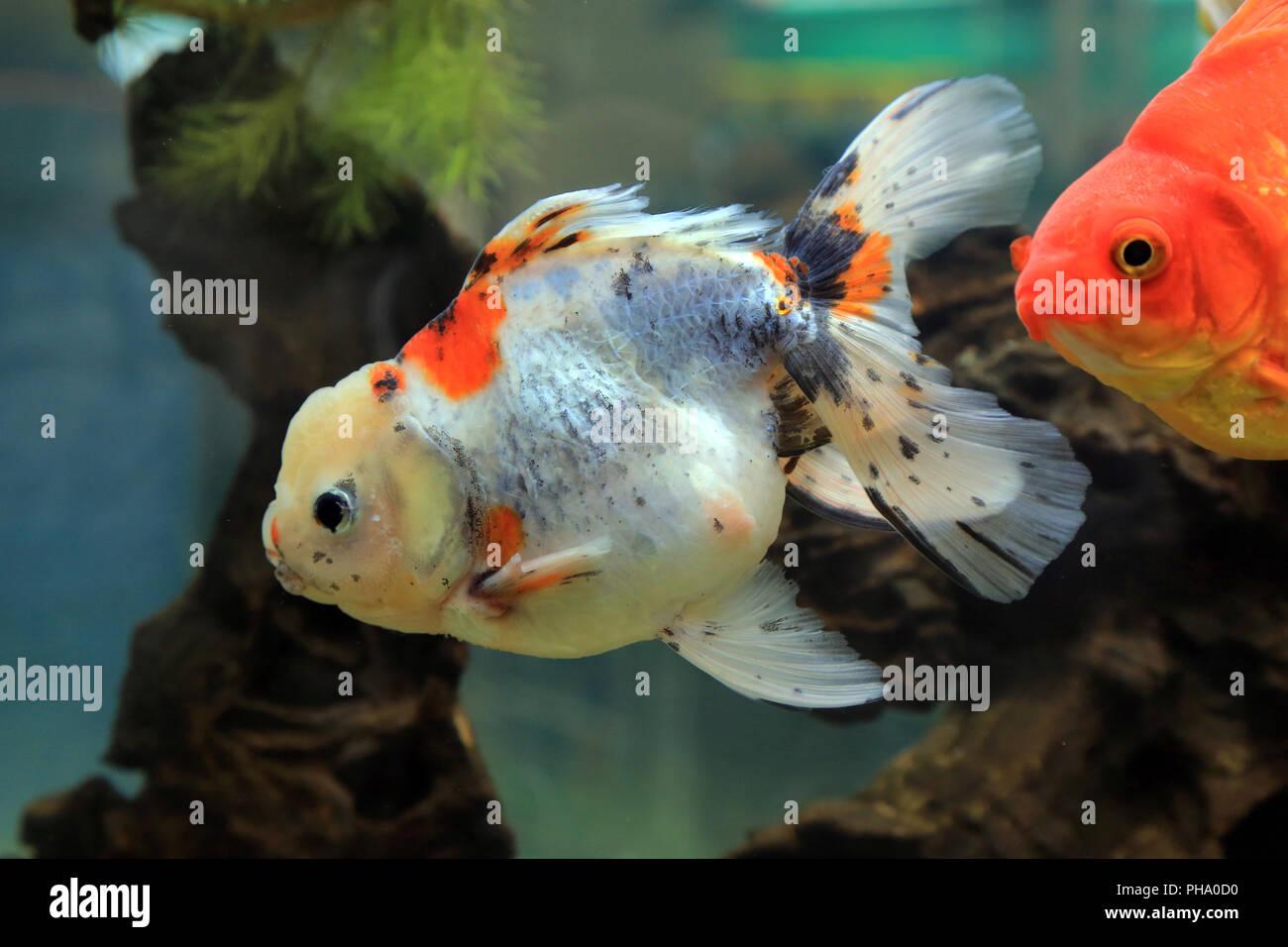 Ryukin Goldfish Stock Photos & Ryukin Goldfish Stock Images