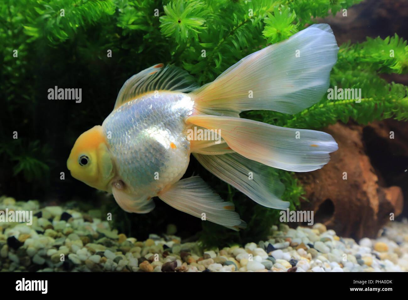 Goldfish Oranda, Carassius auratus Stock Photo