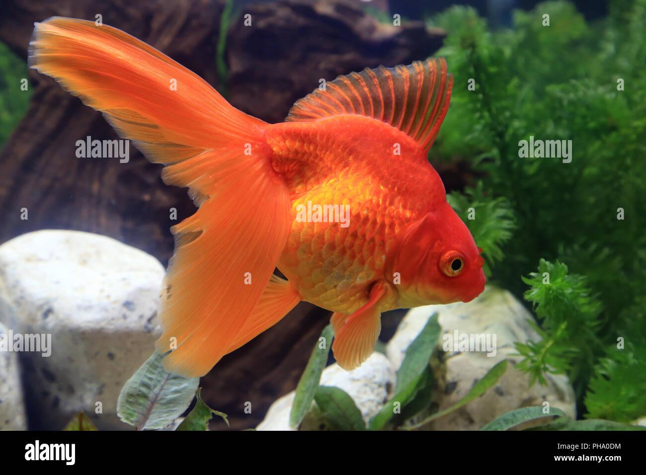 Ryukin Stock Photos Ryukin Stock Images Alamy