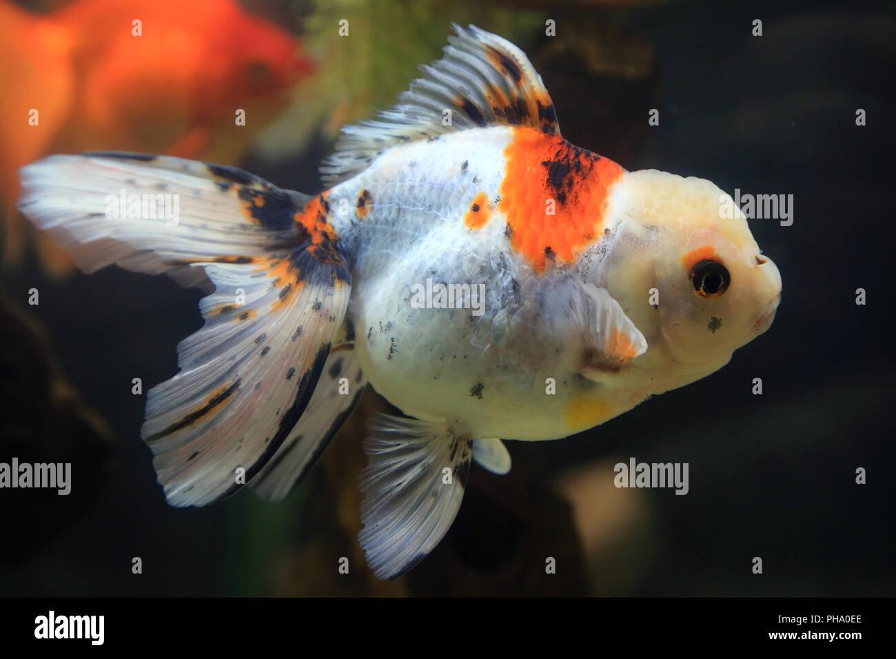 Oranda Goldfish Carassius Auratus Aquarium Stock Photos
