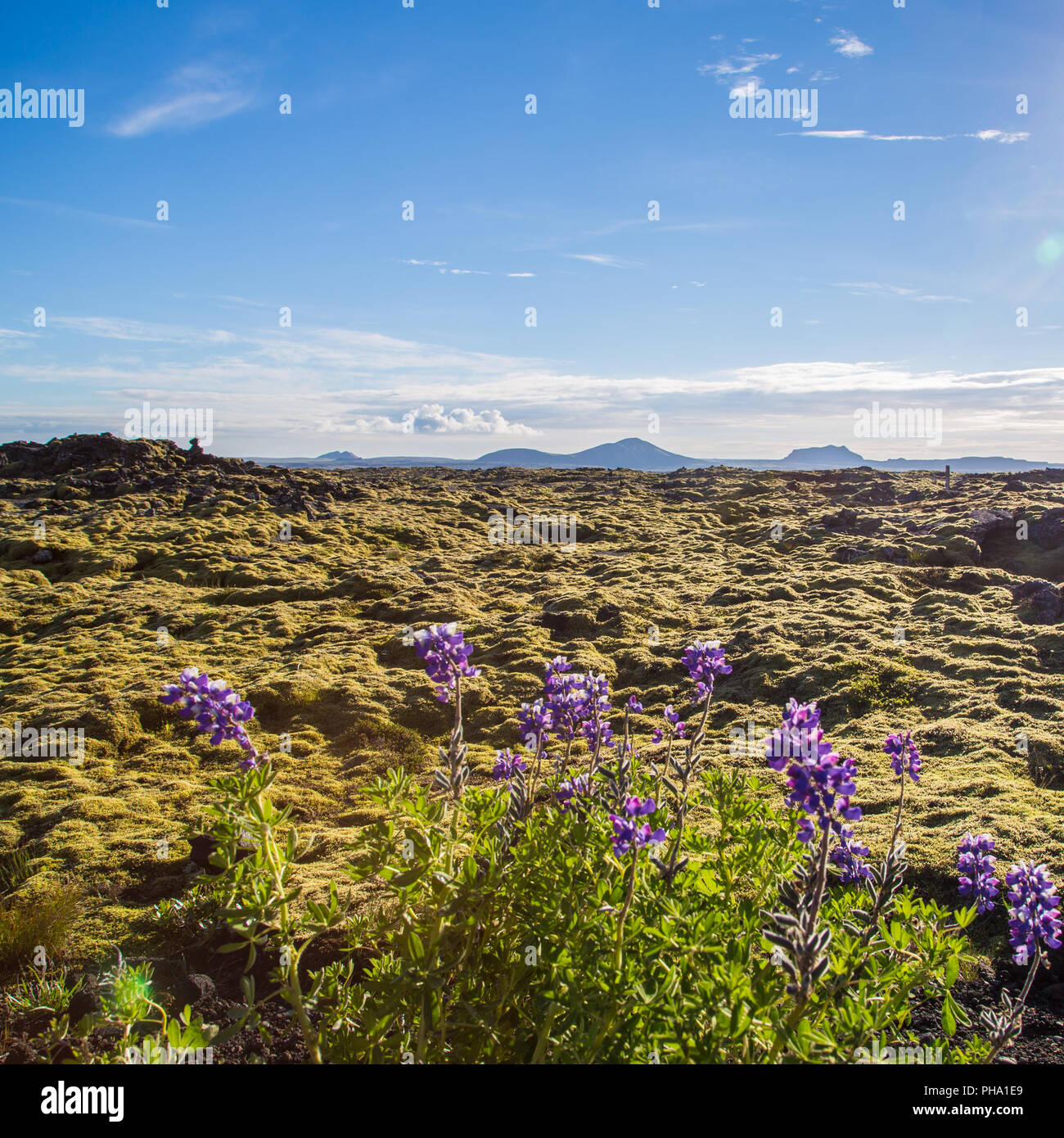 Lava field with lupines on Reykjanes, Iceland - Stock Image