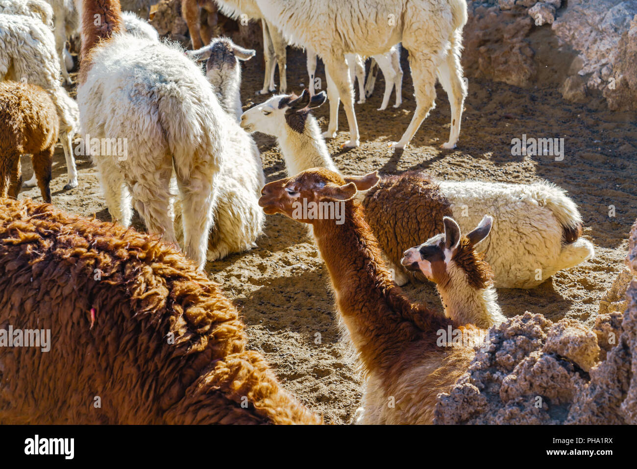 Llama resting on the ground at the southern altiplano - Stock Image