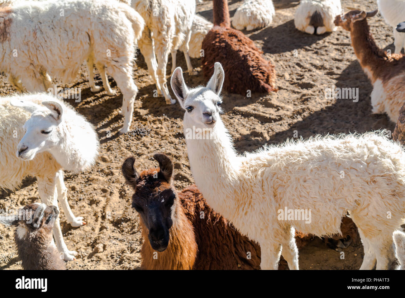 Flock of Llama resting on the ground - Stock Image