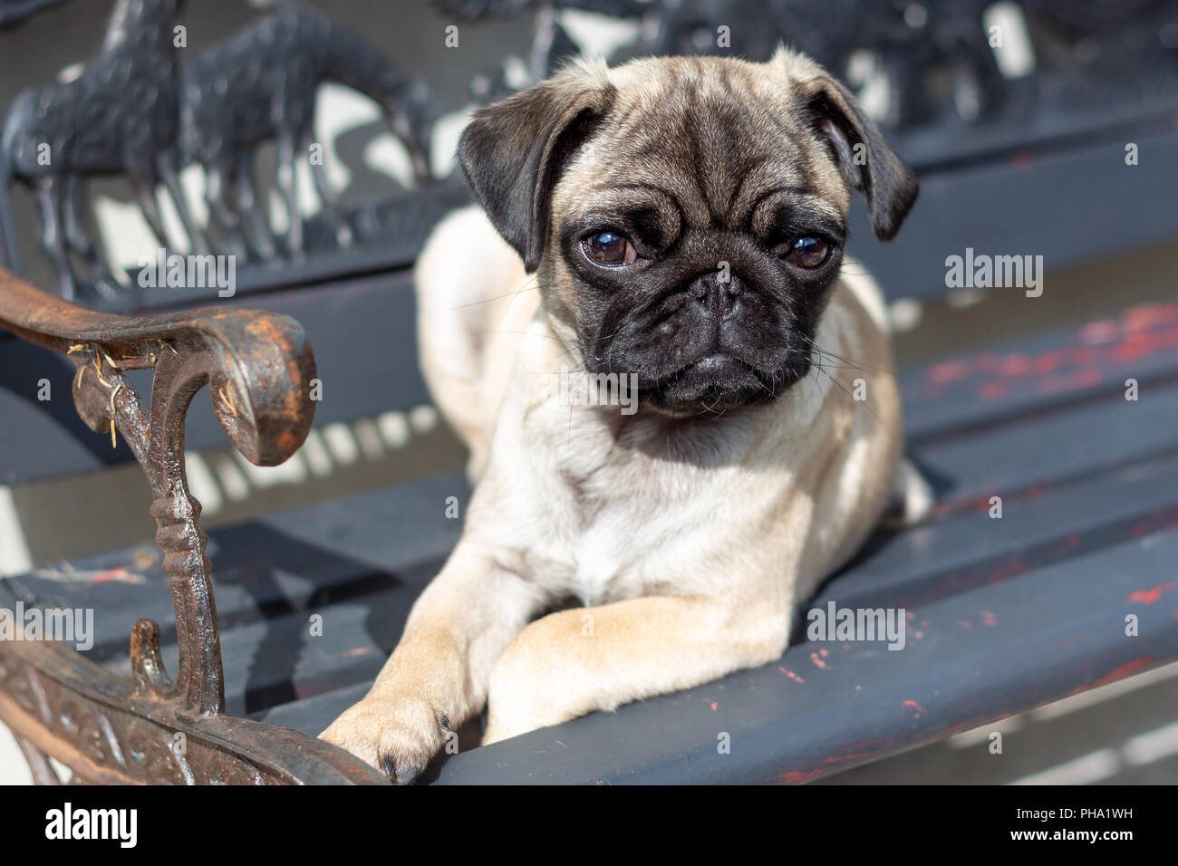 Cute Pug Puppy on a Bench - Stock Image