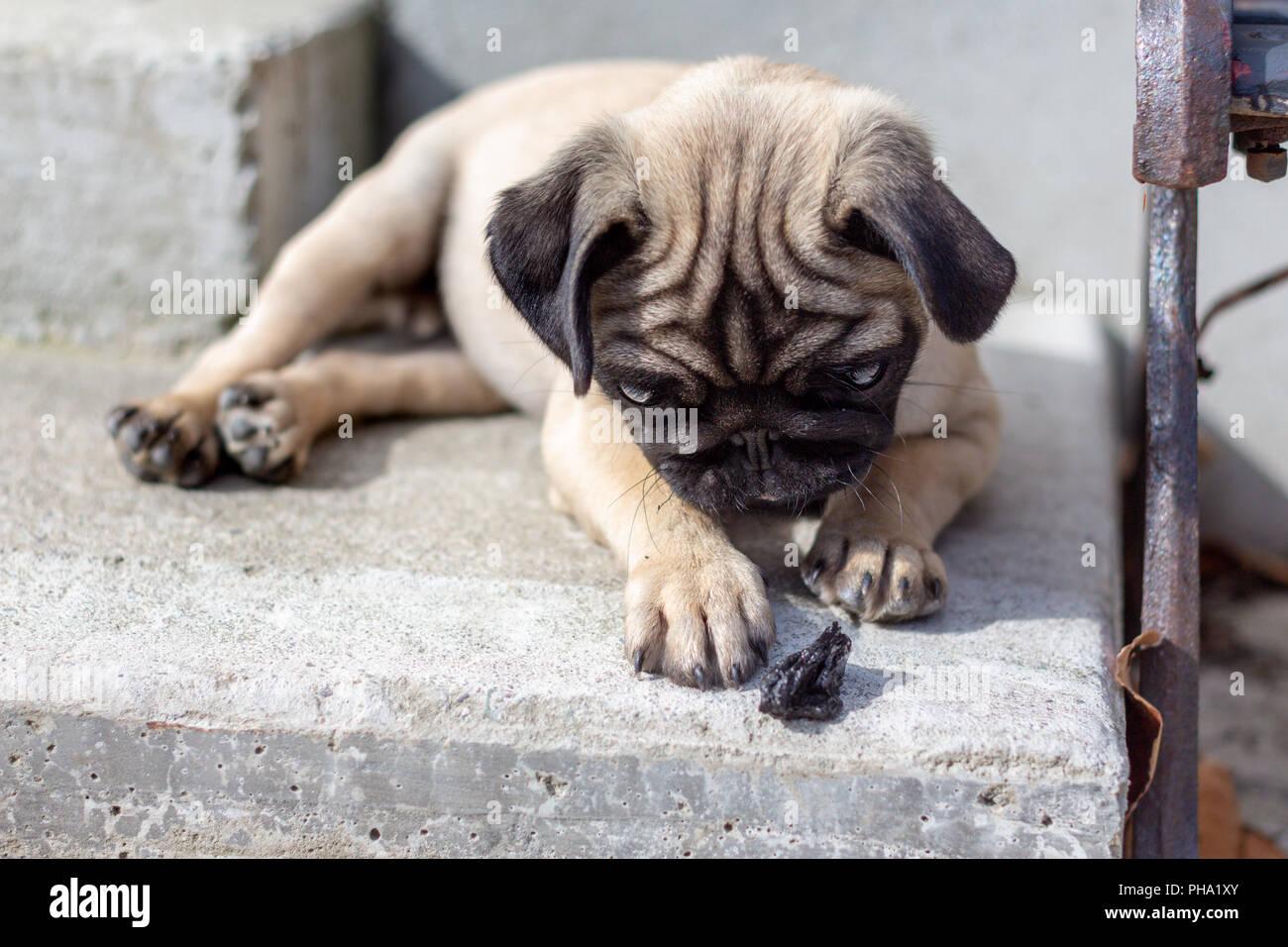 Cute Pug Puppy at play Stock Photo