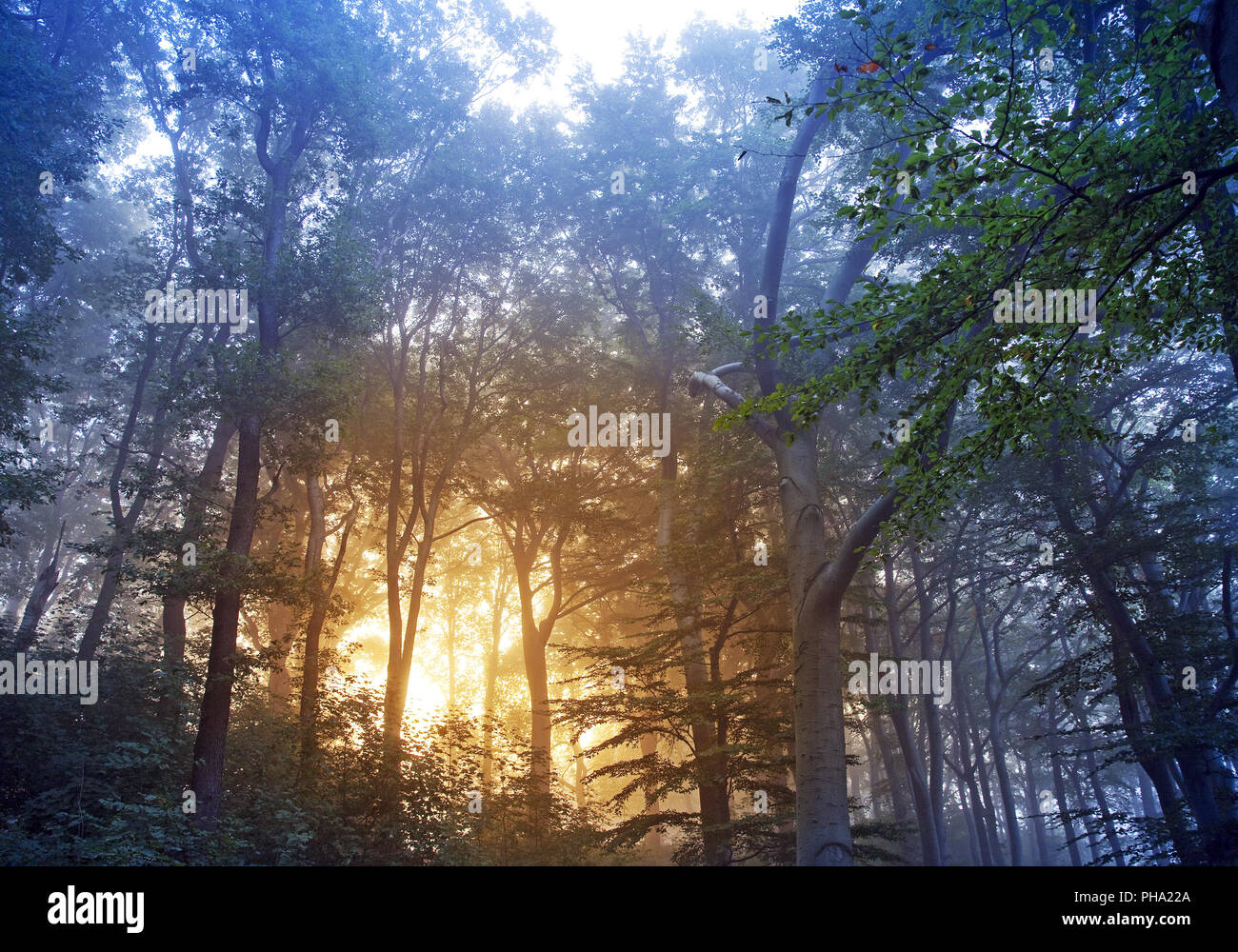 sunrise in misty forest, Witten, Ruhr Area, North Rhine-Westphalia, Germany - Stock Image