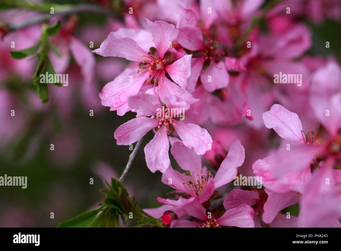 Flowers of the Russian Almond Tree (Prunus tenella). - Stock Image