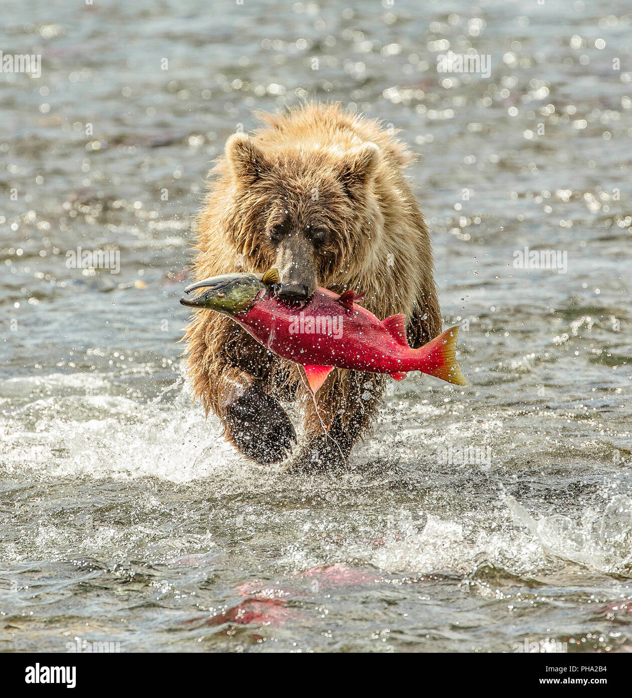 Portrait of Coastal Brown Bear ( Ursus Arctos) in a river with a spawned sockeye salmon in mouth walking towards the camera - Stock Image