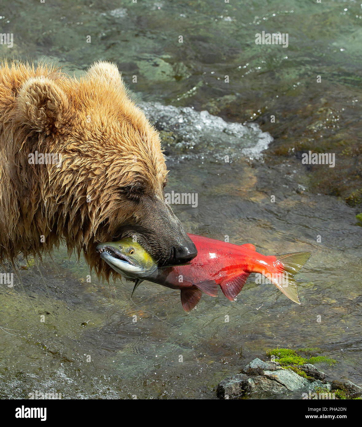 Close up portrait of Coastal Brown Bear ( Ursus Arctos) with spawned sockeye salmon in mouth. - Stock Image