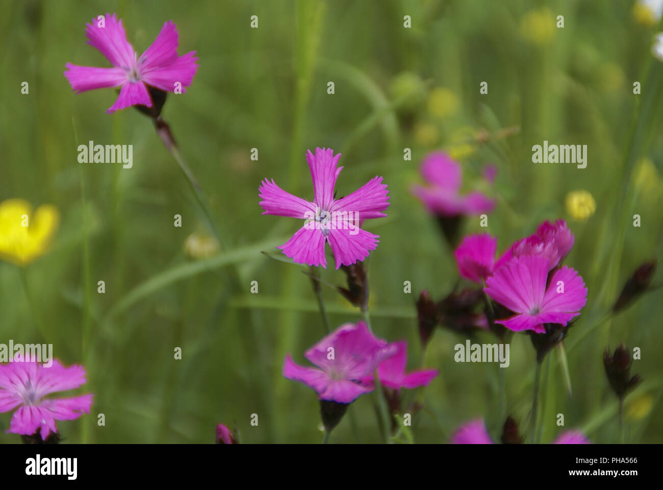 Blooming Carthusian Pink, Baden-Wuerttemberg, Germany - Stock Image