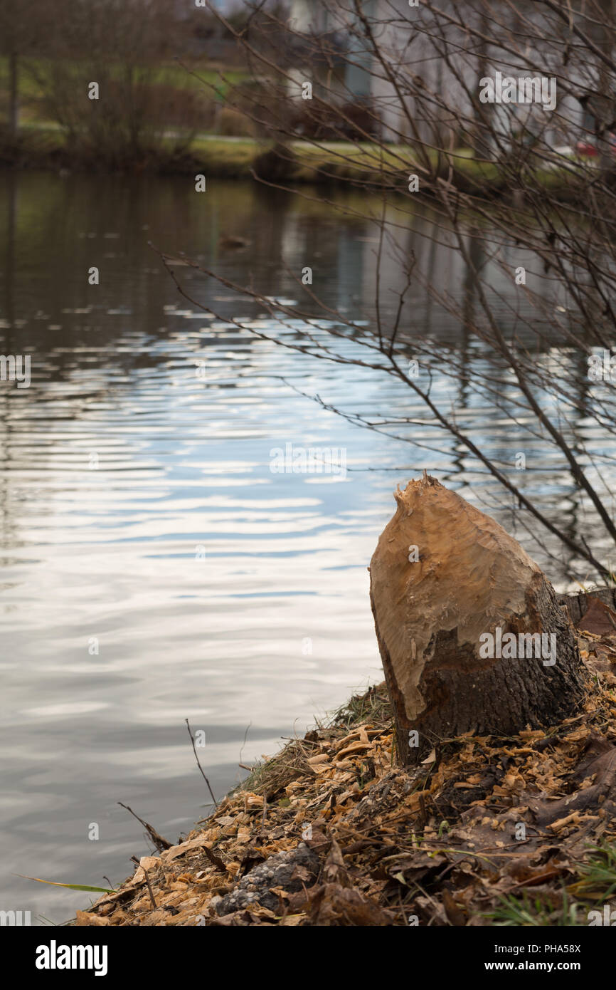 Tree torn by a beaver - traces of a rodent - Stock Image