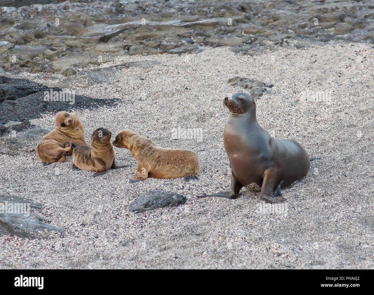 GALAPAGOS SEA LION WITH YOUNG - Stock Image