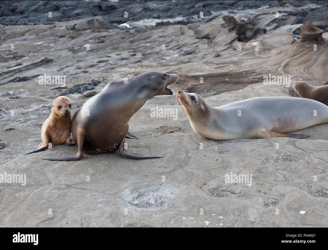 GALAPAGOS SEA LION WITH YOUNG ANIMAL - Stock Image
