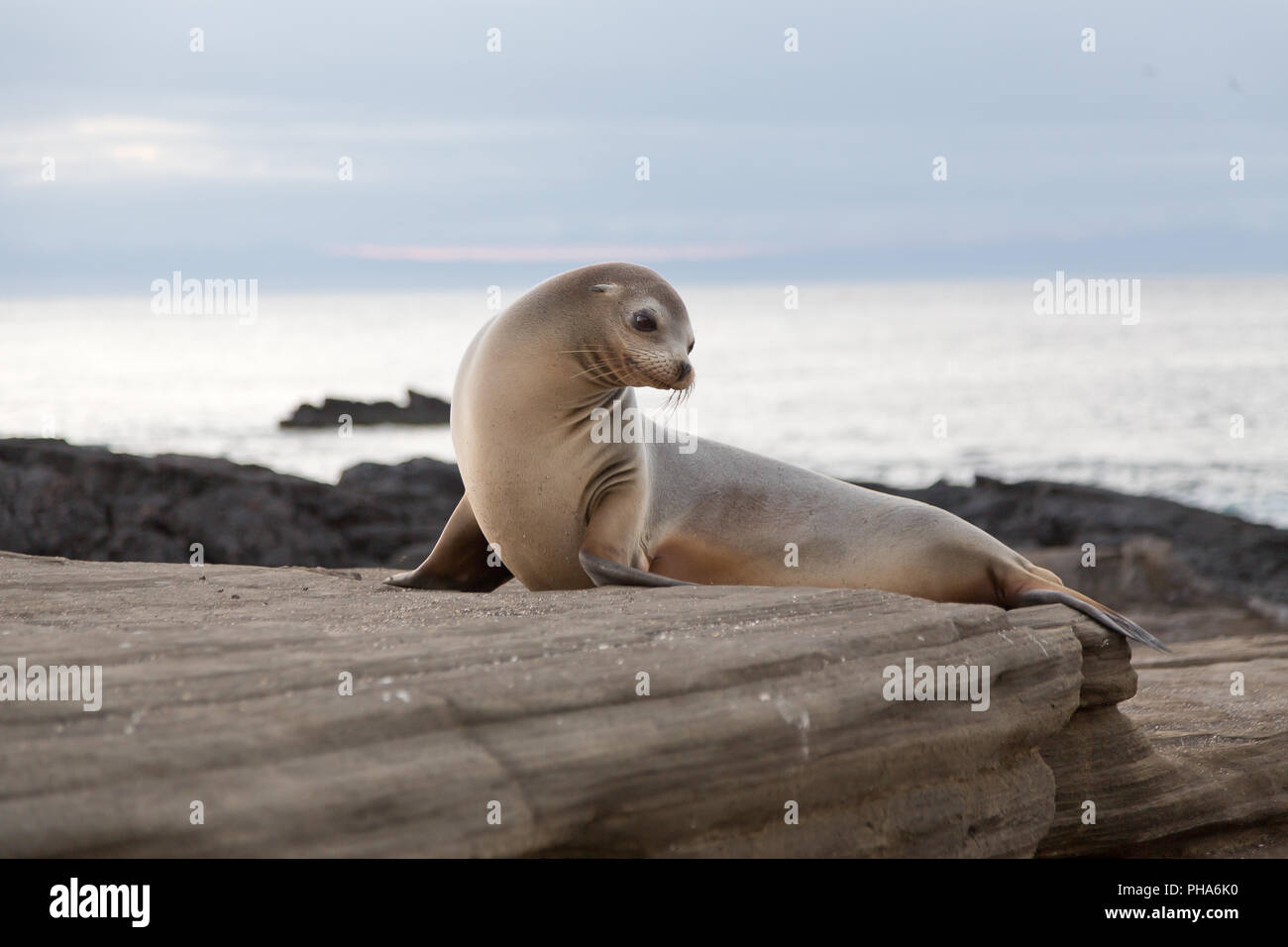 GALAPAGOS SEA LION - Stock Image