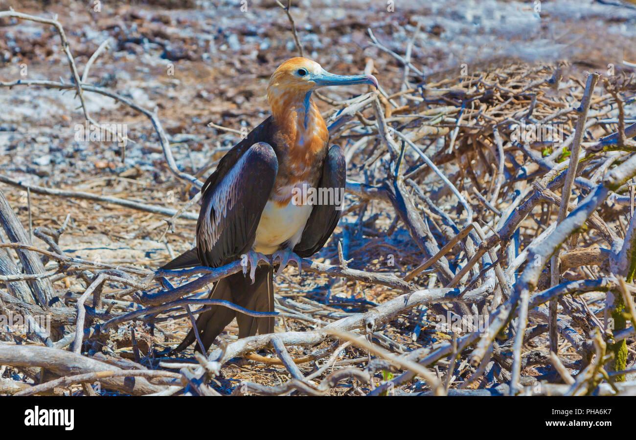YOUNG FREFATBIRD, GALAPAGOS - Stock Image