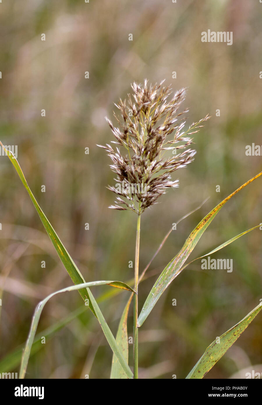 Reed, Hortobágy-Nationalpark, Puszta, Hungary - Stock Image