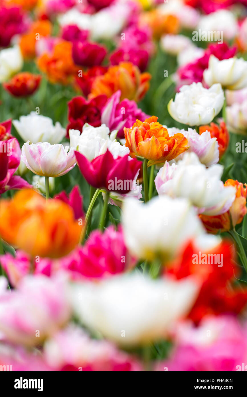 colorful tulips at the Keukenhof in North Holland - Stock Image