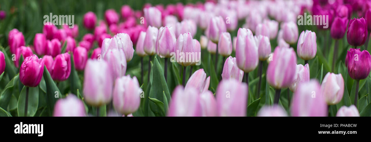 tulips at the Keukenhof in North Holland - Stock Image